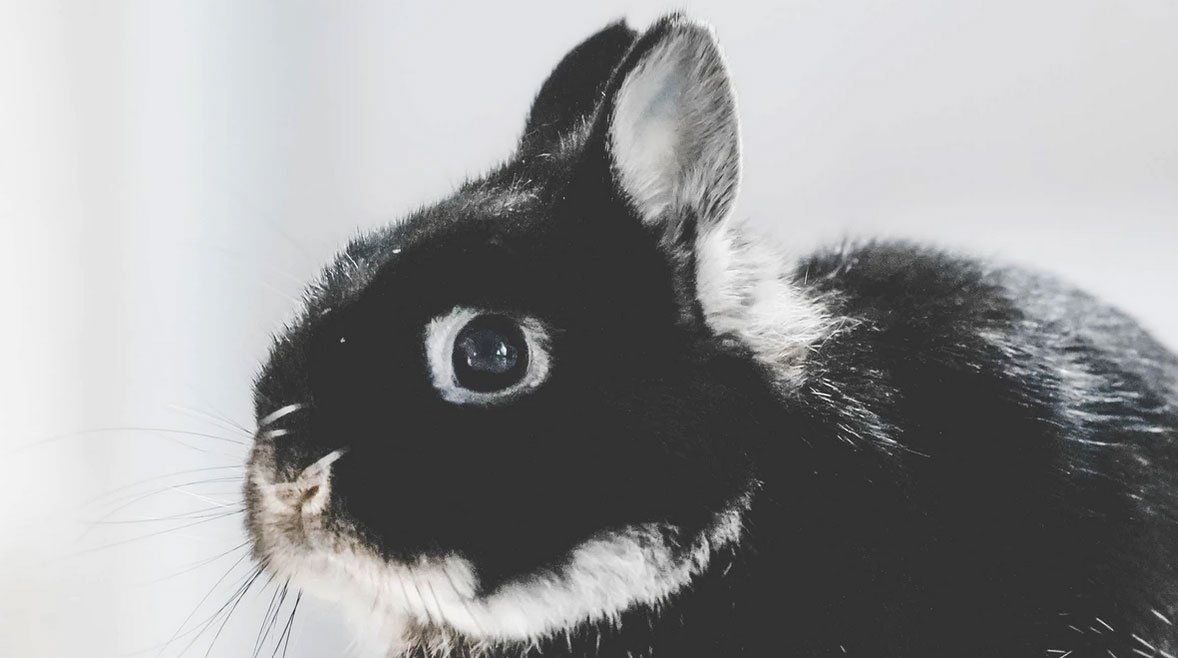 Accueillir un nouveau lapin : que dois-je prévoir ?